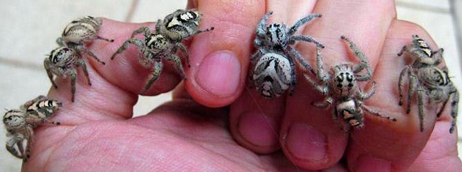 Adulte Weibchen Hyllus Diardi auf einer Hand